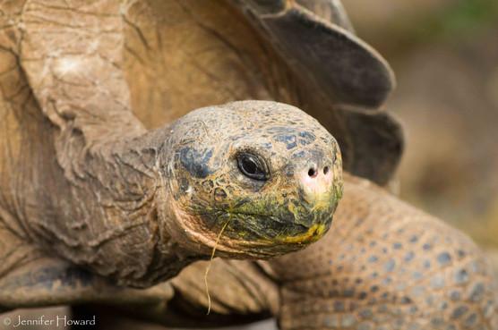 Galápagos Tortoise, Isla Santa Cruz