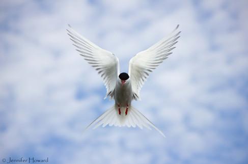 Arctic Tern, Maine