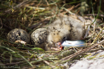 Tern Chick with Fish, Maine