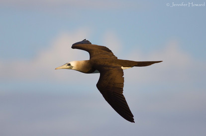 Brewster's Brown Booby, Johnston Atoll