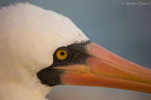 Nazca Booby Headshot, Isla Española