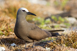Brown Noddy, Johnston Atoll