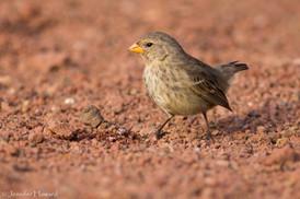 Darwin's Finch, Isla Santa Cruz