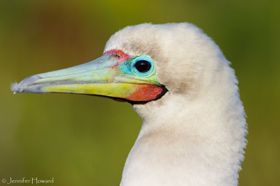 Red-Footed Booby Profile, Johnston Atoll