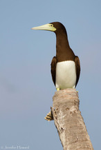 Female Brown Booby, Johnston Atoll