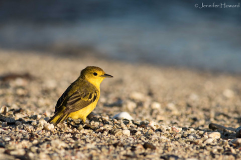 Beachin' Yellow Warbler, Isla Española