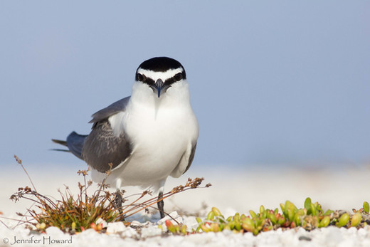 Grey-Backed Tern, Johnston Atoll