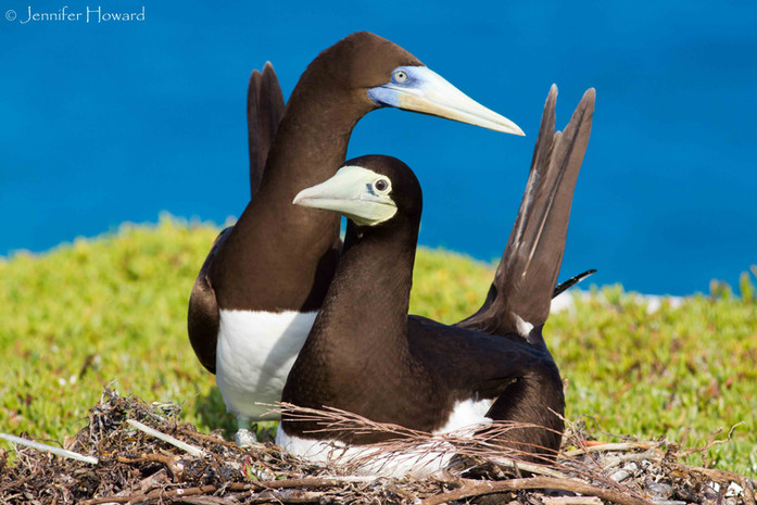 Brown Booby Pair, Johnston Atoll