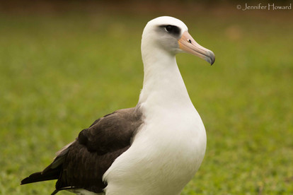 Laysan Albatross Adult, Kauai