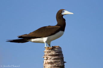 Male Brown Booby, Johnston Atoll