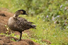 Nene (Hawaiian Goose), Kauai