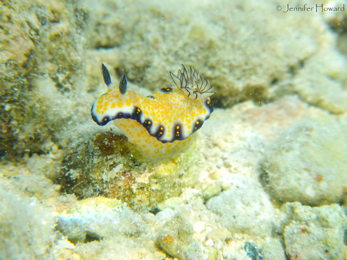 Imperial Nudibranch, Johnston Atoll