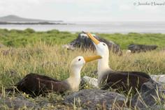 Preening Waved Albatross, Isla Española