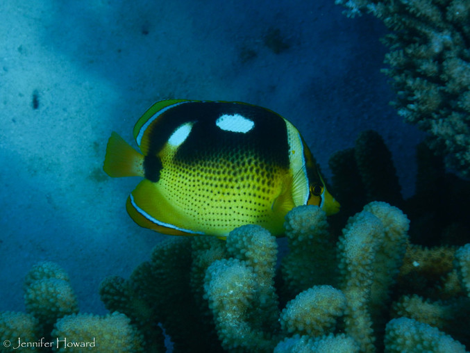 Fourspot Butterflyfish, Johnston Atoll