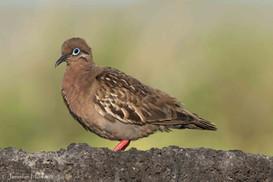 Galápagos Dove, Isla Española