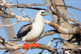 Intermediate Morph Red-Footed Booby, Johnston Atoll