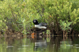 Nesting Common Loon, Maine