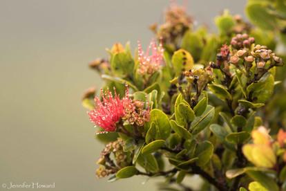 Ohia Tree Flowers, Kauai