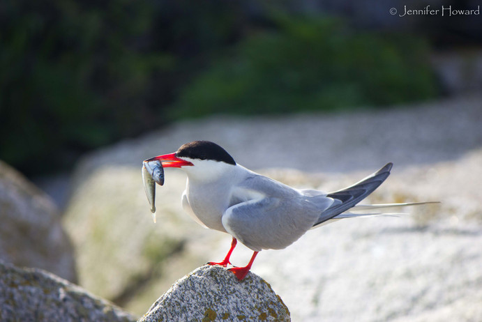 Common Tern, Maine
