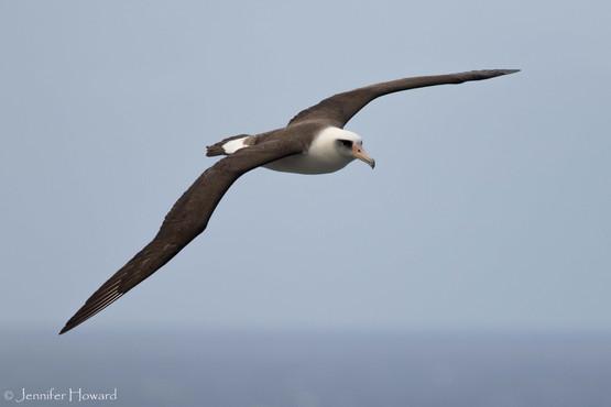 Soaring Laysan Albatross, Kauai