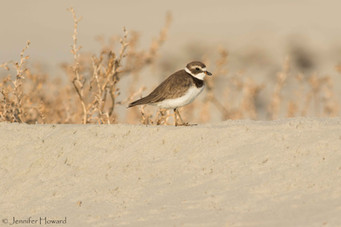Semipalmated Plover, North Carolina