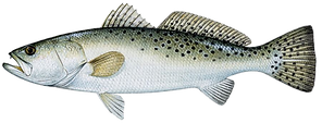 seatrout_spotted.png
