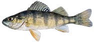 YellowPerch.png