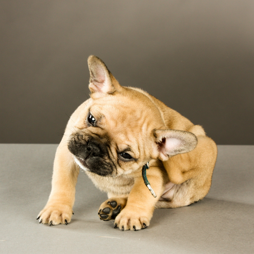 Common Causes of Itchiness in Dogs