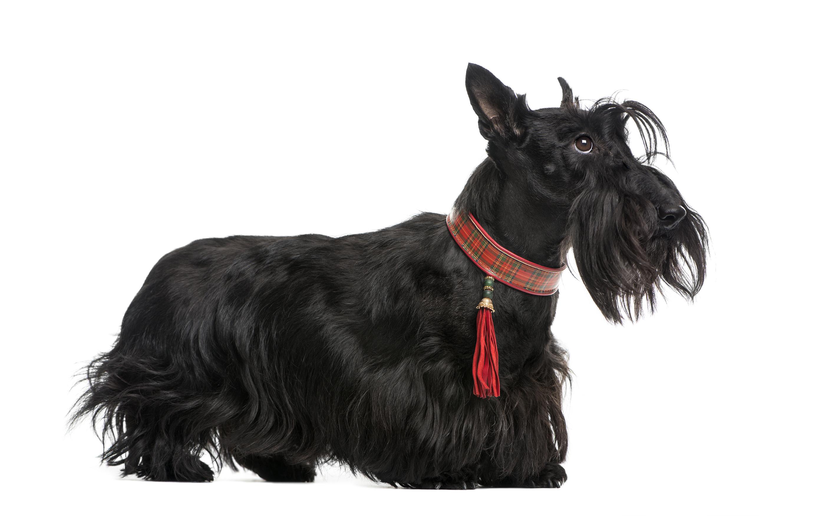 Black Scottie Pet Services