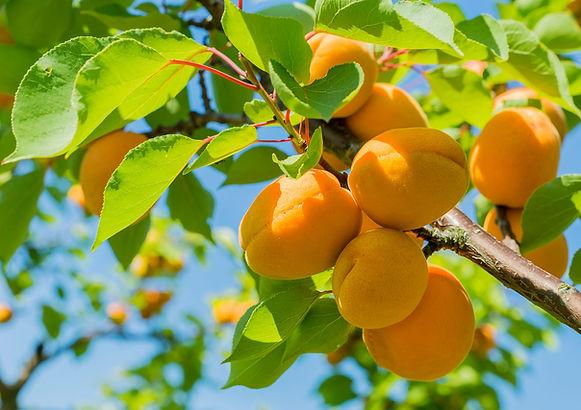 Apricot garden.jpg