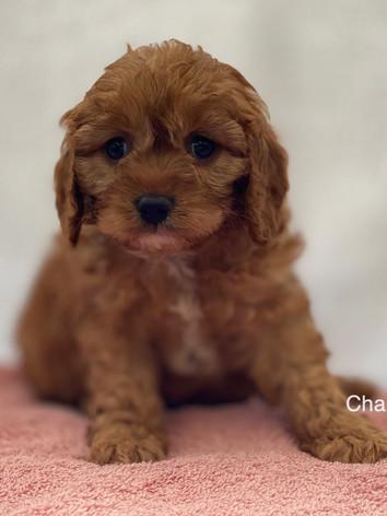 IMG_1015Dora puppies 7 weeks82.jpg