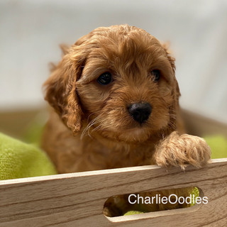 IMG_1070Dora puppies 7 weeks32.jpg