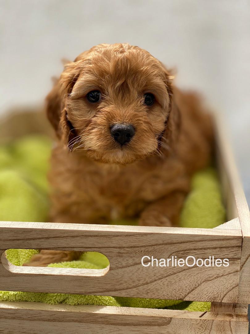 IMG_1064Dora puppies 7 weeks38.jpg
