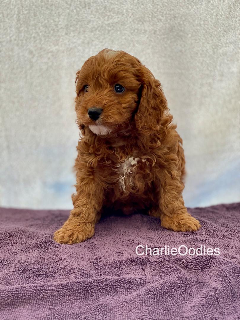 IMG_1101Dora puppies 7 weeks5.jpg