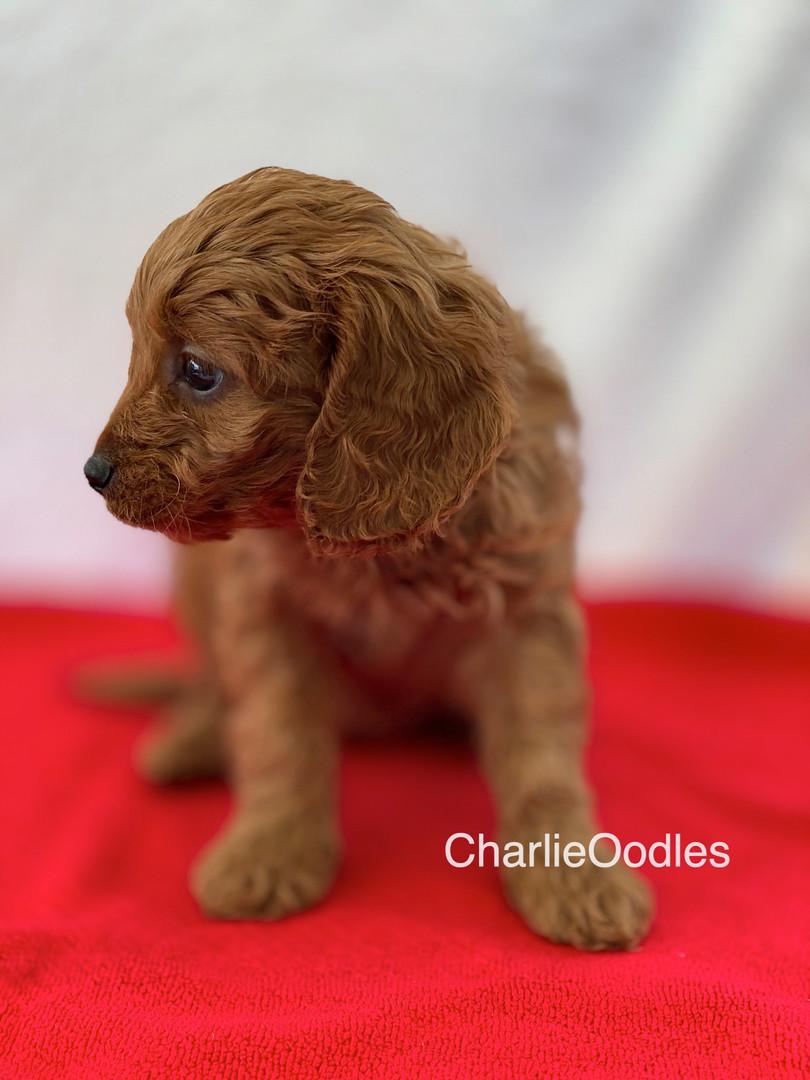 Red Collar Female 7 weeks