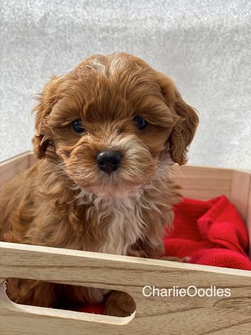 IMG_1110Minnies puppies 6 weeks123.jpg