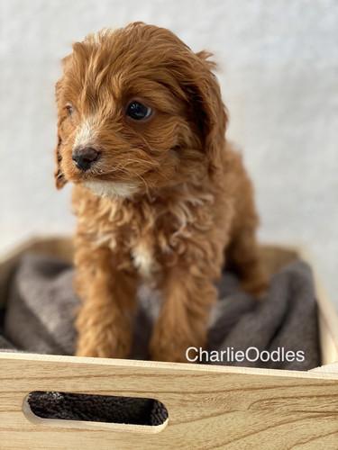 IMG_1381Doras puppies 7 weeks30.jpg