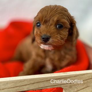 IMG_1317Doras puppies 7 weeks91.jpg