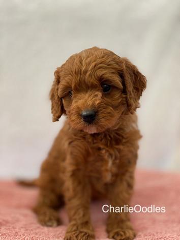 IMG_1150Minnies puppies 6 weeks88.jpg