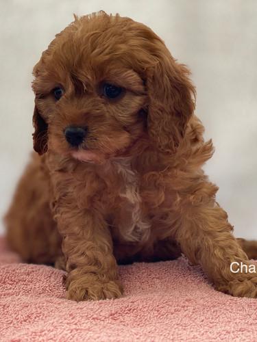 IMG_1017Dora puppies 7 weeks80.jpg