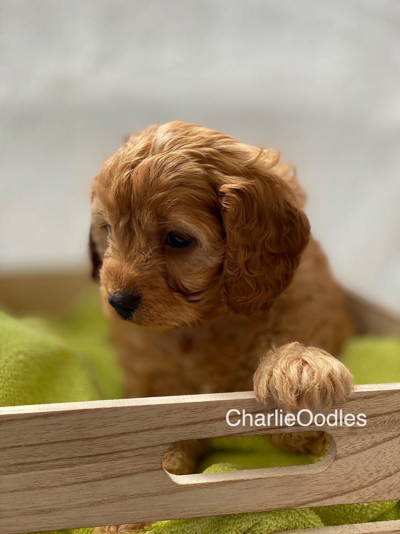 IMG_1068Dora puppies 7 weeks34.jpg