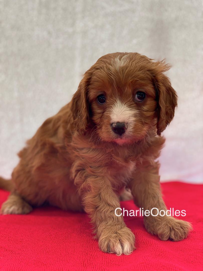 IMG_0993Dora puppies 7 weeks99.jpg