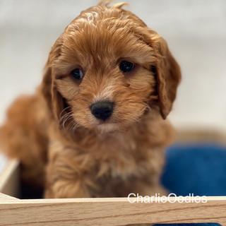 IMG_1031Dora puppies 7 weeks67.jpg