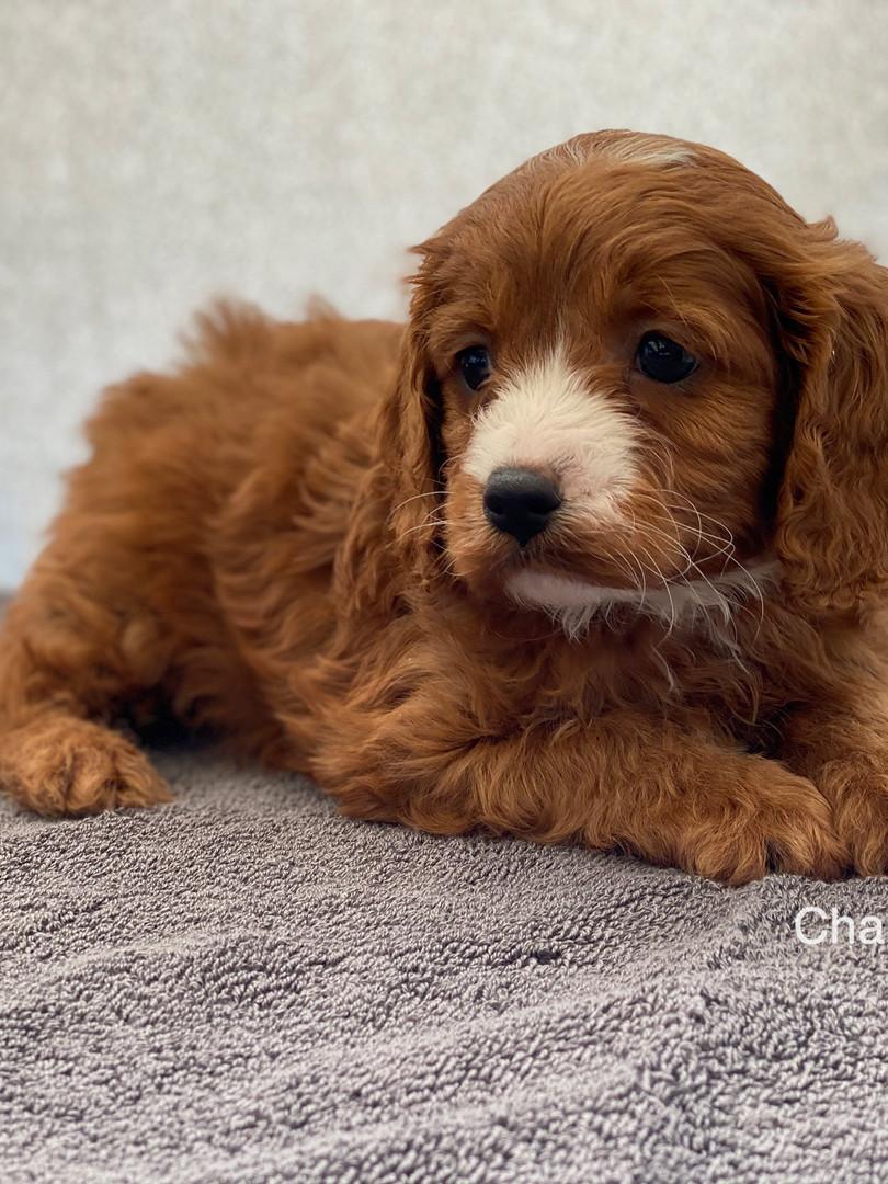 IMG_1055Dora puppies 7 weeks45.jpg