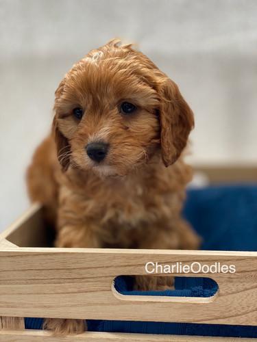 IMG_1028Dora puppies 7 weeks70.jpg
