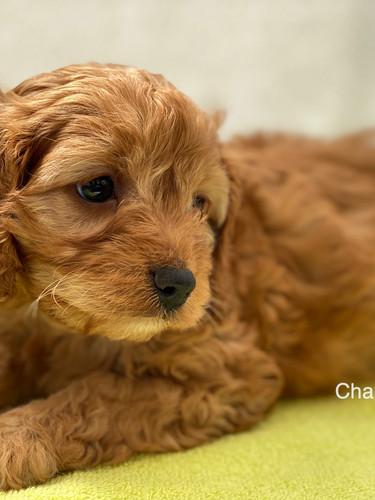 IMG_1079Dora puppies 7 weeks25.jpg