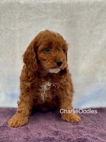 IMG_1100Dora puppies 7 weeks4.jpg