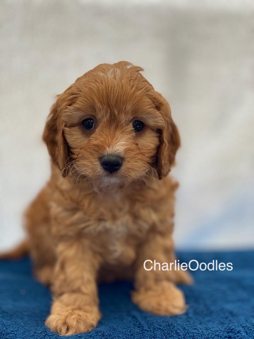 IMG_1040Dora puppies 7 weeks58.jpg
