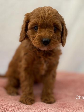 IMG_1144Minnies puppies 6 weeks94.jpg