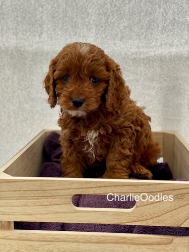 IMG_1089Dora puppies 7 weeks12.jpg